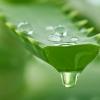 Какими полезными свойствами отличаются растения алоэ?
