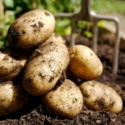 Картофель суперуглевод - суперкарб
