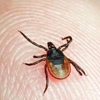В Омской области более 3,5 тысяч человек пострадали от укусов клещей