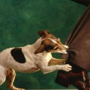 Собака бывает кусачей: как не заразиться бешенством?