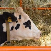 Фермер из Омской области планирует производить мраморную говядину