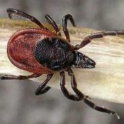 У 6 омичей выявлены клещевые инфекции
