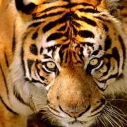 В Омской области теперь преподают «Тигроведение»