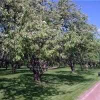 На территории омской больницы будут расти кедры и груши