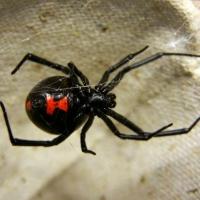 Ядом пауков будут лечить паралич
