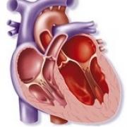 Всегда ли хорошо иметь большое сердце?