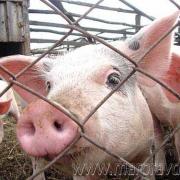 Омских свиней перевели на закрытый режим