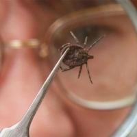 От укусов клещей пострадало 4 тысячи омичей