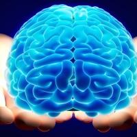 В научной лаборатории вырастили миниатюрную модель головного мозга